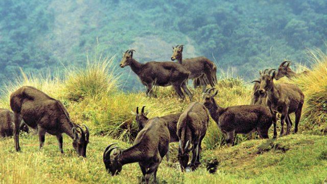 Eravikulam National Park near Munnar