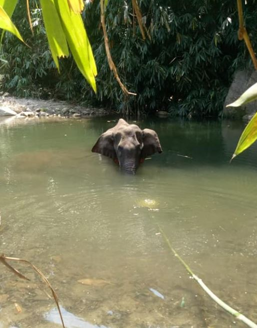 Kerala pregnant elephant standing in river before death
